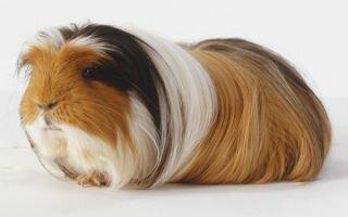 Морская свинка Коронет: что нужно знать о породе