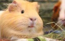 Можно ли морским свинкам помидоры и огурцы