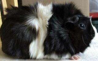 Абиссинская морская свинка: уход и содержания в домашних условиях