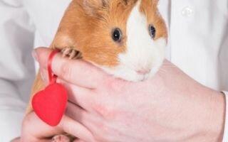 Бывает ли аллергия на морских свинок и как определить и вылечить аллергию