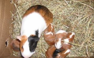 Новорожденные морские свинки: особенности развитие и правила ухода