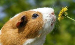 Пододерматит у морских свинок: причины, лечение и профилактика