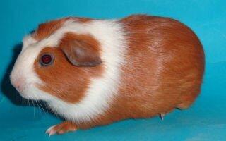 Морские свинки крестед: виды, описание, уход и содержание в домашних условиях