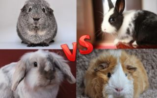 Морская свинка или кролик: кого лучше заести