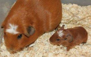 Разведение и спаривание морских свинок в домашних условиях