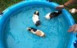 Умеют ли морские свинки плавать