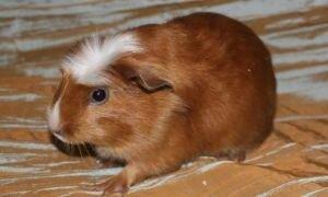Как самостоятельно узнать возраст морской свинки