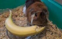 Можно ли морской свинке банан