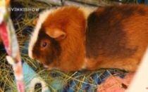 Можно ли морским свинкам тыкву