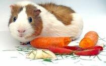Что делать если морская свинка плохо ест и похудела