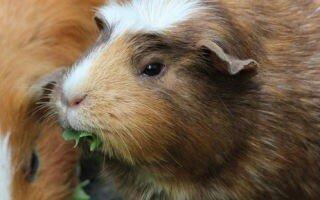 Можно ли морским свинкам капусту