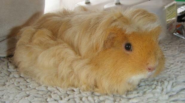 Вот так выглядит свинка