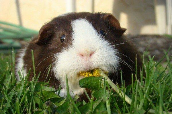 Питомец кушает зелень