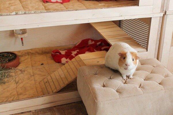 Появление в доме морской свинки