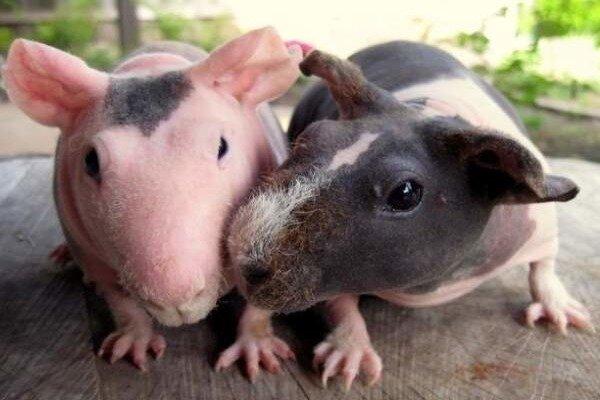 Опасности для свинок Скинни