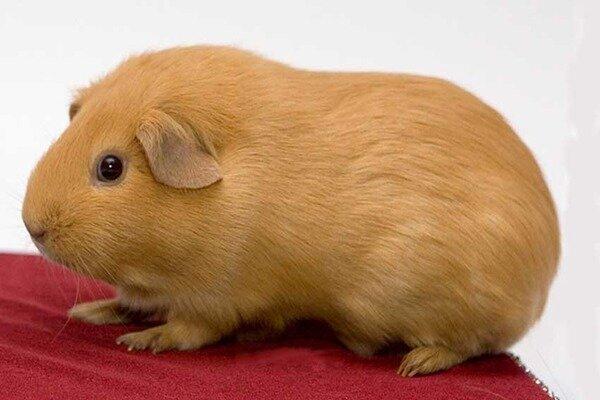 Гладкошерстая морская свинка