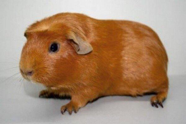 Кормление гладкошерстых свинок