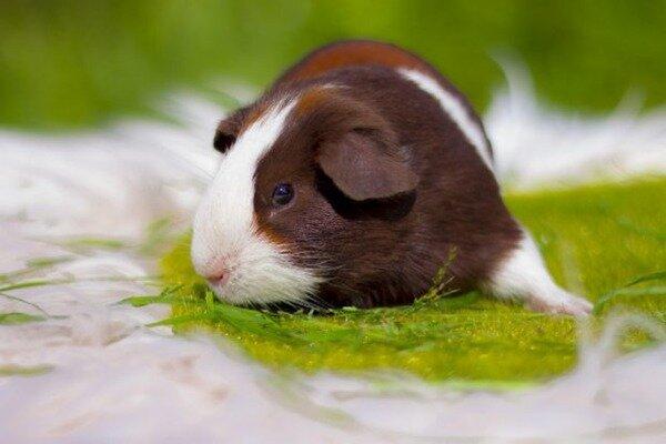 Неприхотливость морских свинок