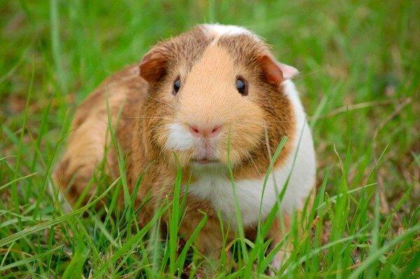Наблюдение за звуками и движениями морской свинки