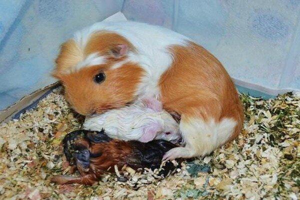 Самка во время родов