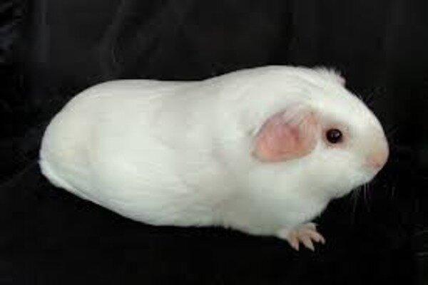 Белая морская свинка