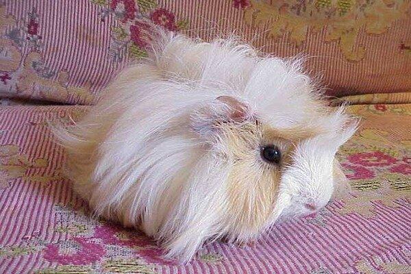 Свинка без родословной