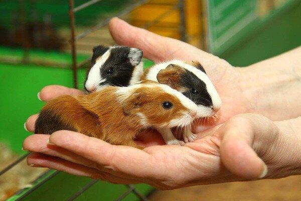 Детеныши морской свинки