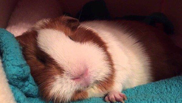 Спящая морская свинка
