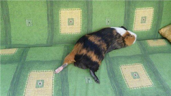 Питомец уснул на диване