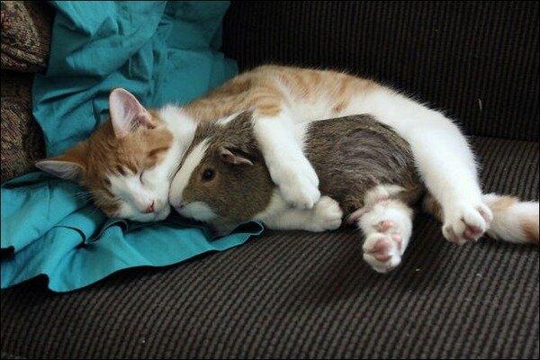 Кошка спит с морской свинкой