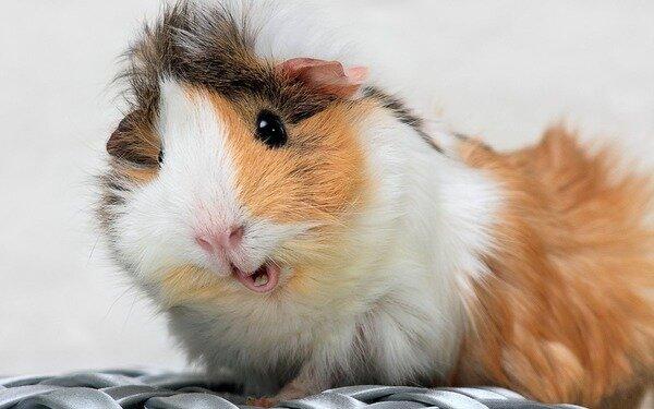 Подозрительная свинка