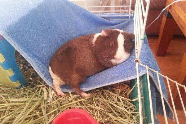 Морская свинка спит в собственной клетке